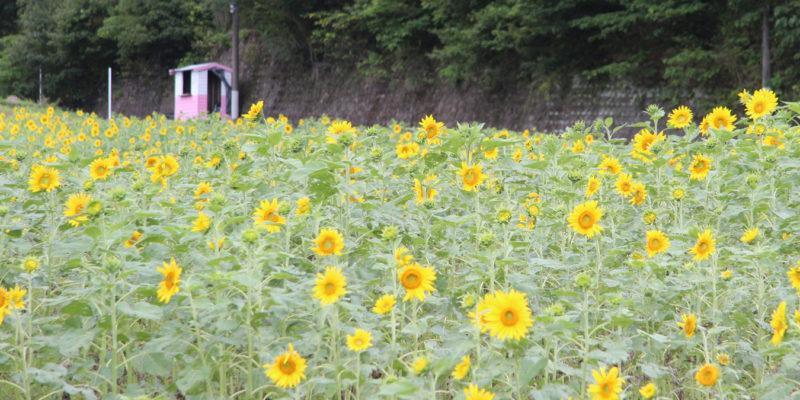 しまばら火張山花公園 ひまわり