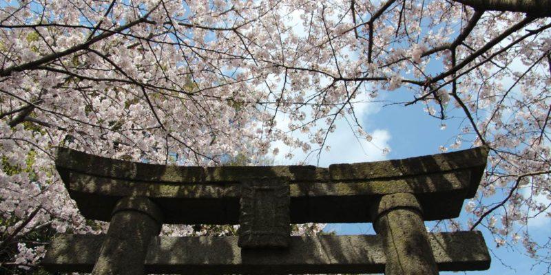 折橋神社 鳥居と桜