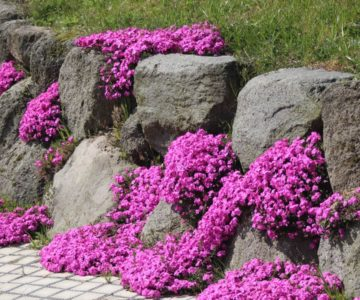 火張山花公園 芝桜