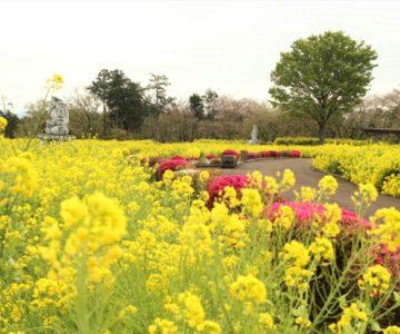 有明の森 フラワー公園 菜の花