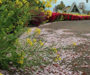 フラワー公園 菜の花