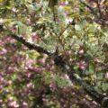 緑の桜 御衣黄