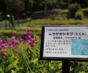 島原藩薬園 紫式部