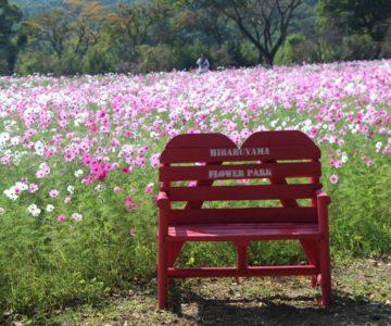 火張山花公園 コスモス