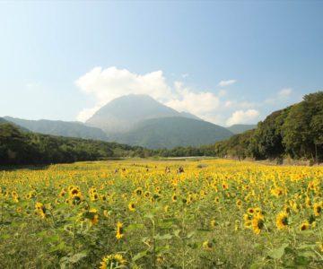 火張山花公園 ひまわり