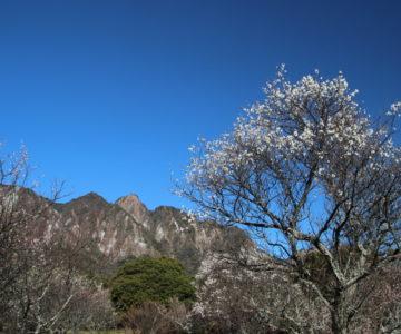 花木公園 梅
