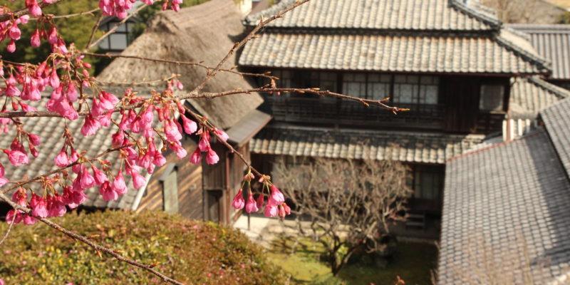 鍋島邸 緋寒桜