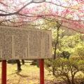 神代神社 緋寒桜