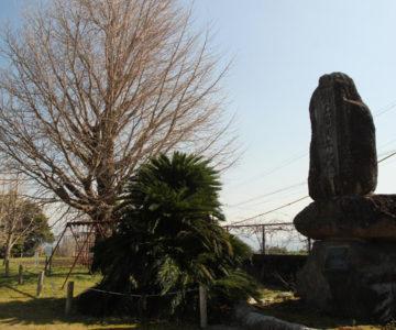旧大野木場小学校 イチョウと100周年記念碑