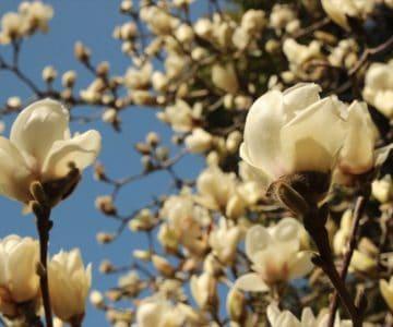 ひょうたん池公園 白木蓮