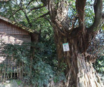諏訪神社 アコウの木