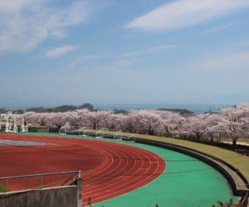 島原陸上競技場 桜