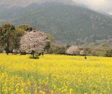 しまばら火張山花公園 春の花まつり