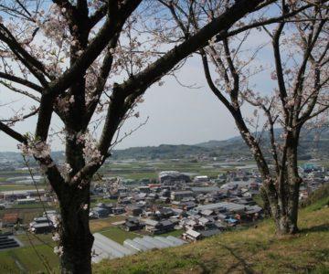 日野江城跡 桜
