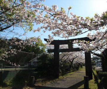 霊丘神社 鳥居 桜