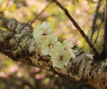 御衣黄 緑の桜
