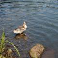 ひょうたん池公園 鴨