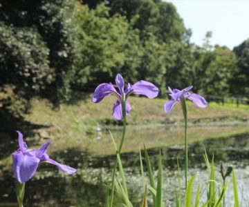 ひょうたん池公園 菖蒲