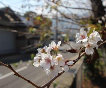 桜の狂い咲き!外港公園