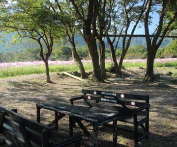 しまばら火張山花公園 コスモス