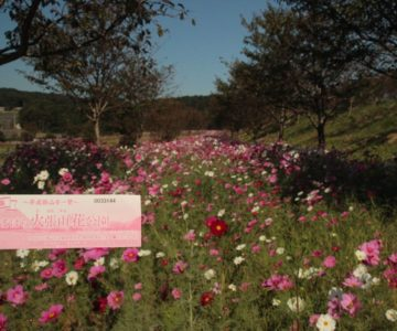 しまばら火張山花公園 秋桜まつり