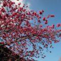 神代小路 緋寒桜