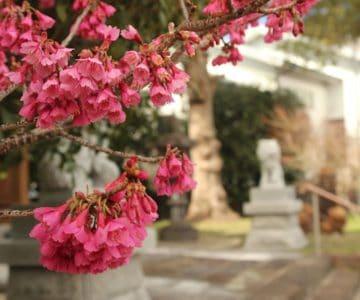 水原神社 緋寒桜