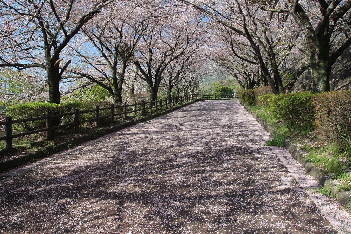 島原総合運動公園 桜 3/27