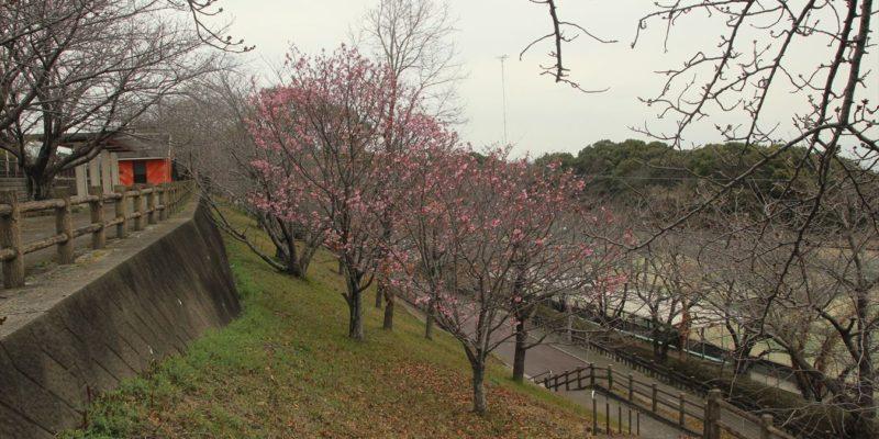 島原総合運動公園 桜 3/9