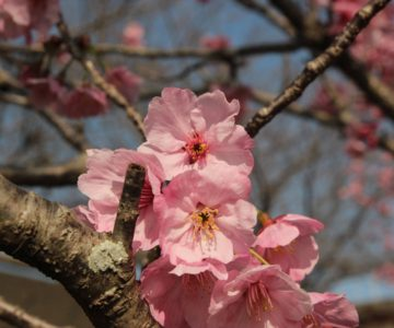 島原総合運動公園 桜 3/10