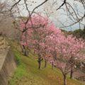 島原総合運動公園 桜 3/13