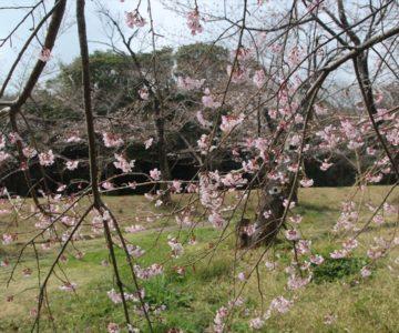 島原総合運動公園 桜 3/15