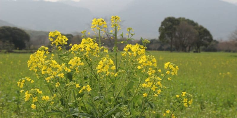 しまばら火張山花公園 菜の花