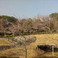 島原総合運動公園 桜 3/17