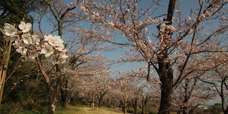 島原総合運動公園 桜 3/18