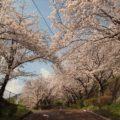 島原総合運動公園 桜のトンネル