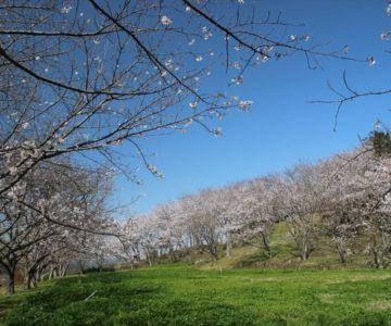 日野江城 桜