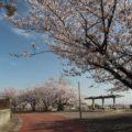 島原総合運動公園 桜 3/24
