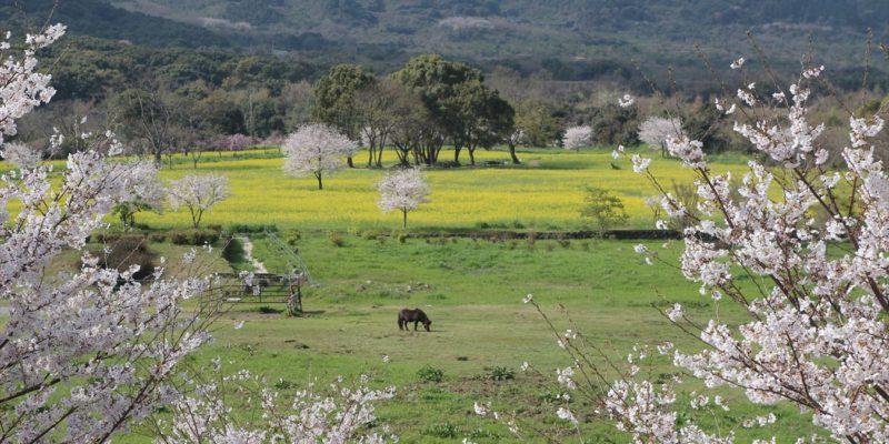 しまばら火張山花公園 桜 菜の花