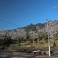 島原総合運動公園 桜 3/26