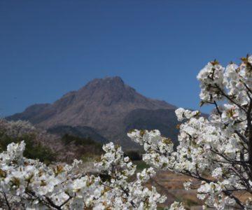 ふかえ桜パーク 平成新山と桜