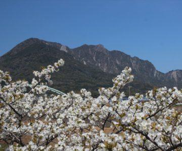 ふかえ桜パーク 眉山と桜