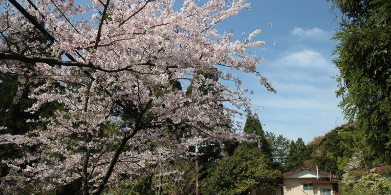 鴛鴦の池 桜