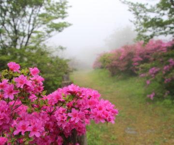 雲仙宝原つつじ公園 ミヤマキリシマ
