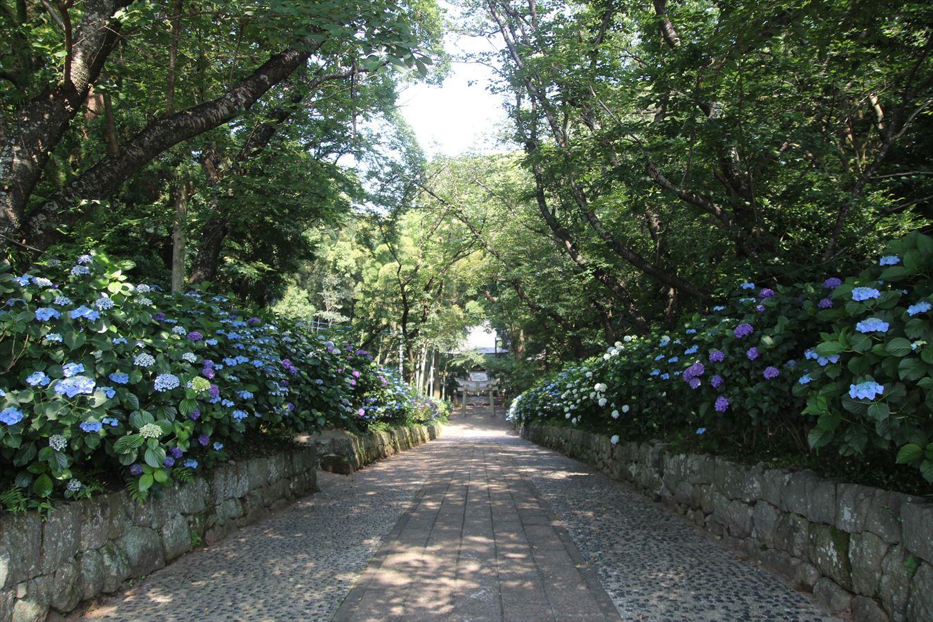 八幡神社 参道のアジサイ