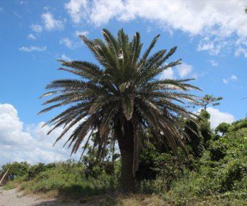 長浜海岸 ヤシの木