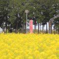 有明の森フラワー公園 菜の花
