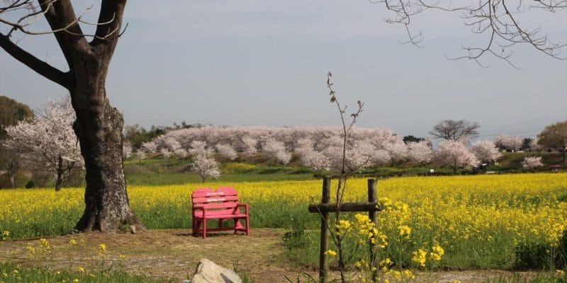 しまばら火張山花公園 菜の花 桜